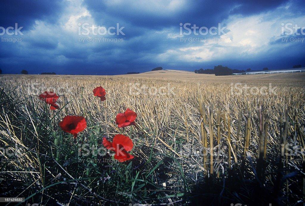 Poppies Under a Menacing Sky royalty-free stock photo