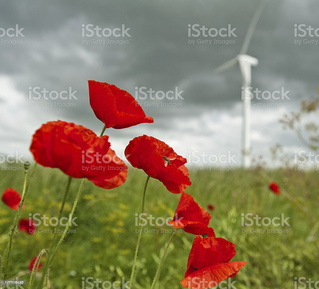 Poppies under dark clouds, Holland royalty-free stock photo