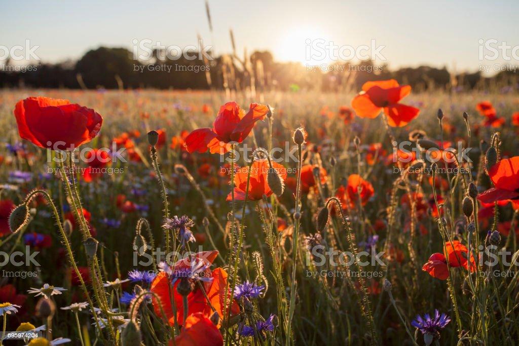 Campo de amapolas silvestres en brillo brillante luz del atardecer - foto de stock