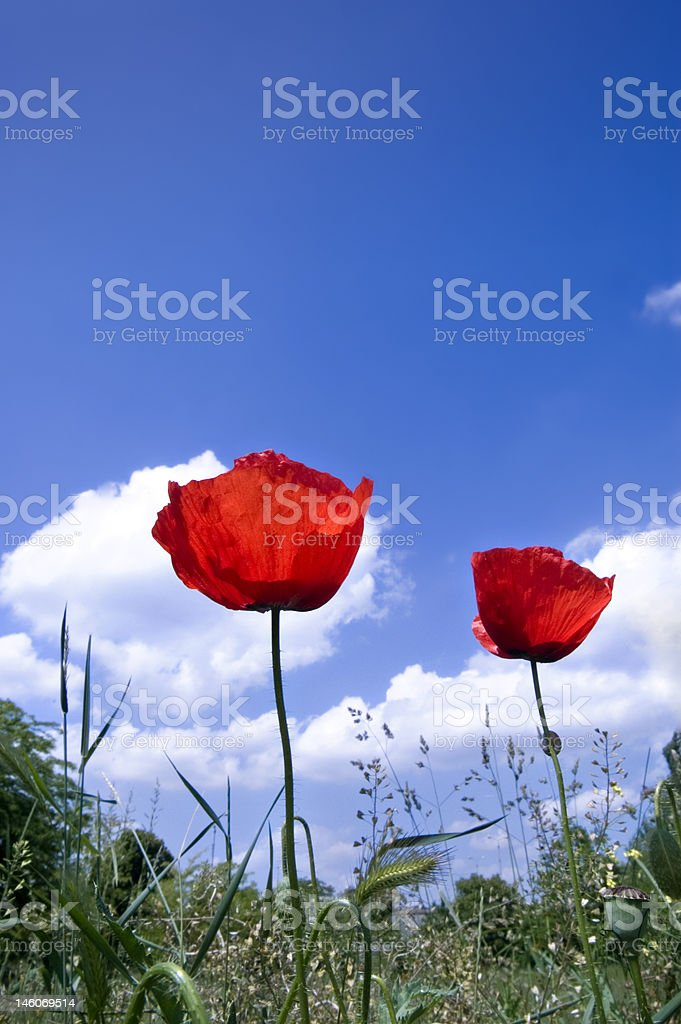 Poppies with blue sky royalty-free stock photo