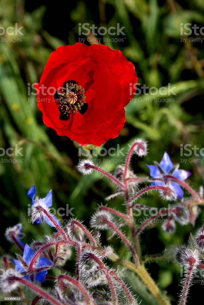 Poppy and borage royalty-free stock photo