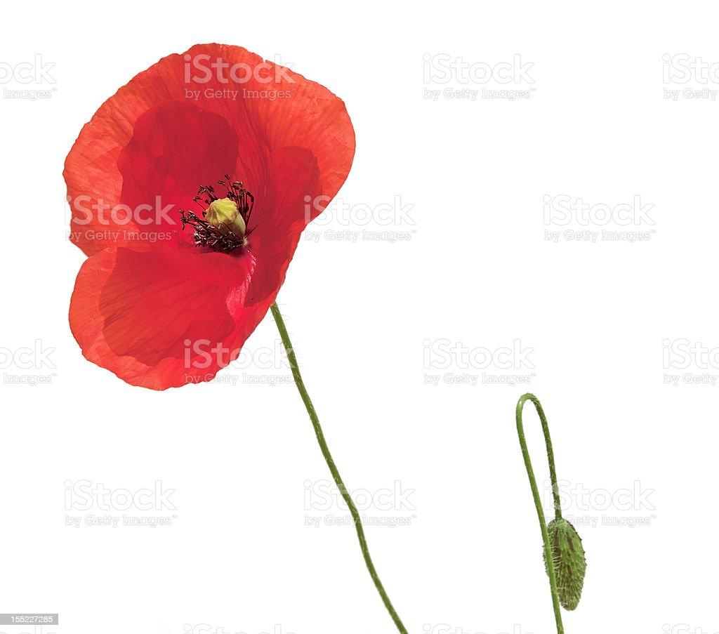 Poppy and bud stock photo