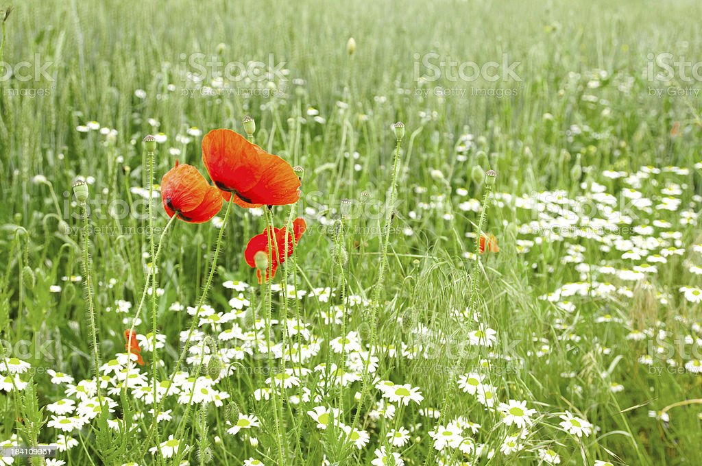 Poppy and chamomile royalty-free stock photo