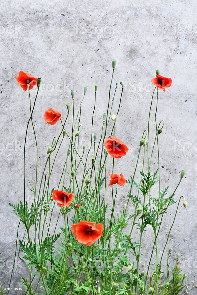 Poppy and concrete wall stock photo