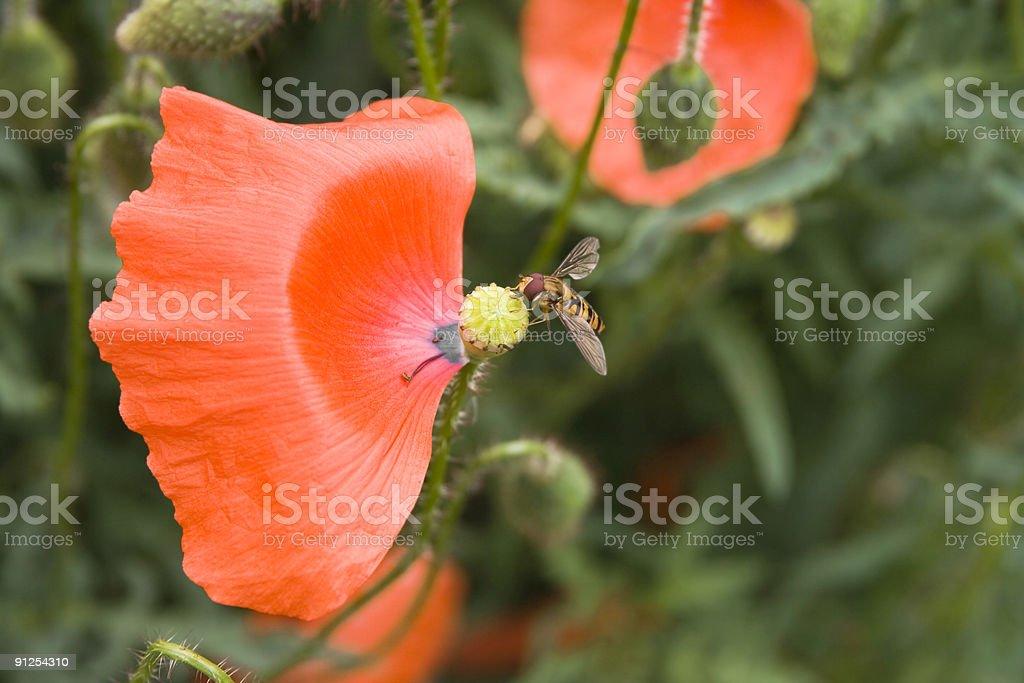 Poppy and Fly royalty-free stock photo