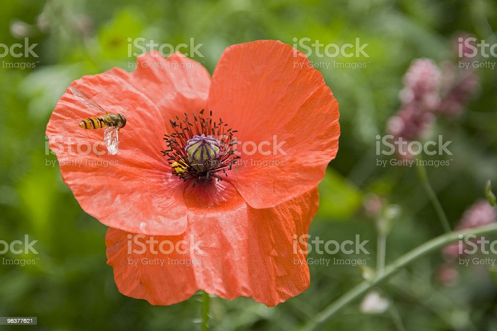 Poppy and Hover Fly royalty-free stock photo