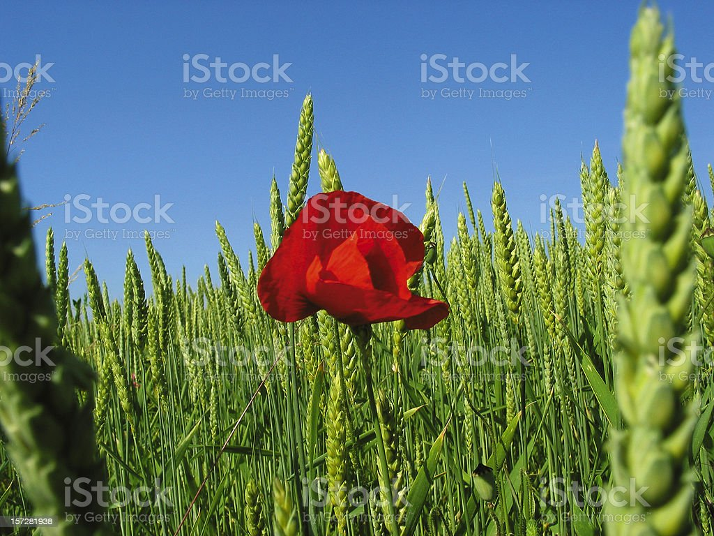 Poppy and huge wheat field royalty-free stock photo