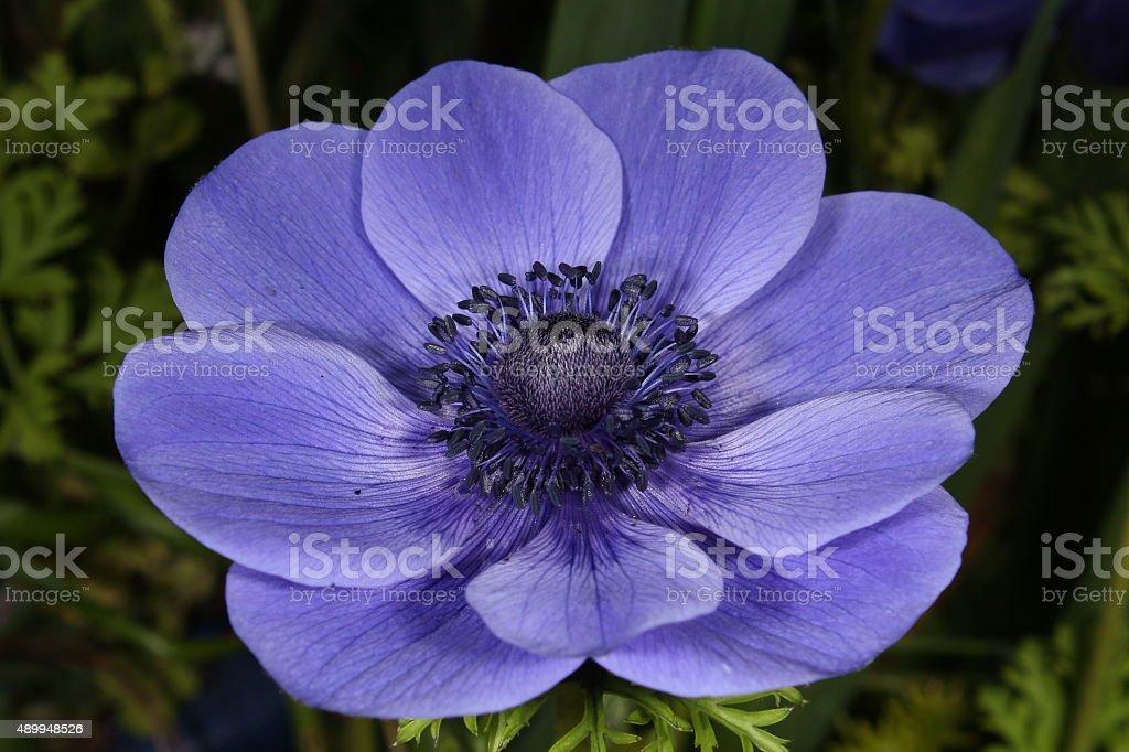 Poppy Anemone de Caen stock photo