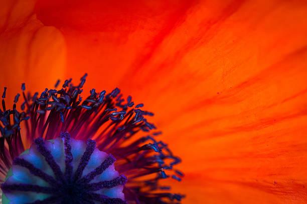Poppy background picture id513128872?b=1&k=6&m=513128872&s=612x612&w=0&h=cxxbrz5zrofvsjbonqnqym0eyetxhuxi z3rqtr6xbe=