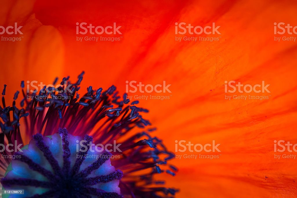 poppy background stock photo