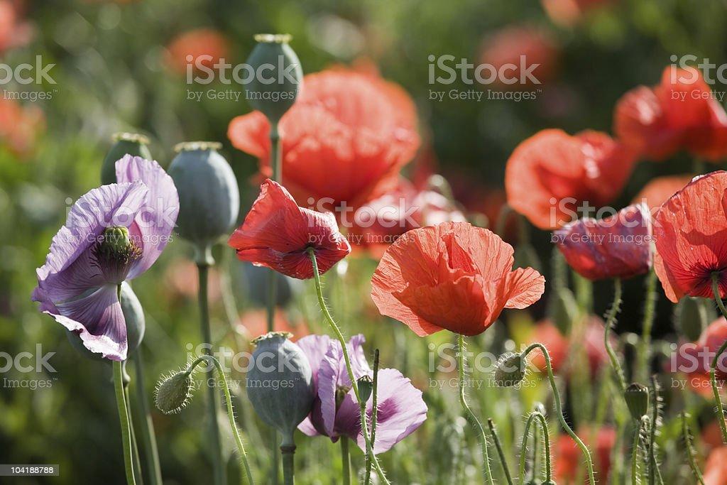 Poppy bloom royalty-free stock photo