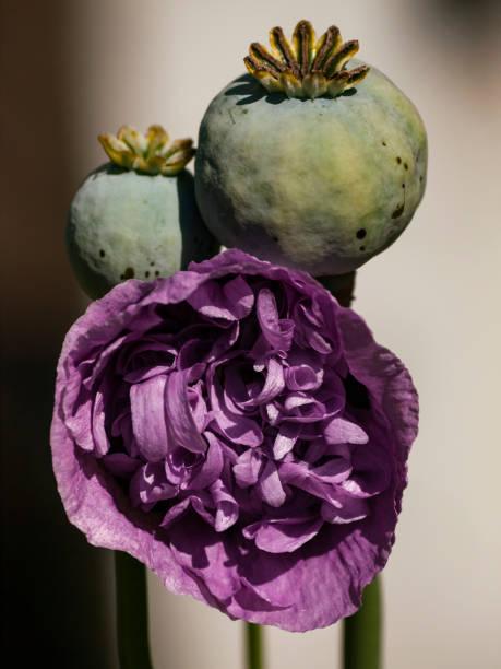 Poppy Blossom and Seed Head stock photo