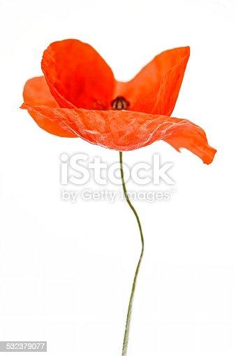 istock Poppy - blossom 532379077