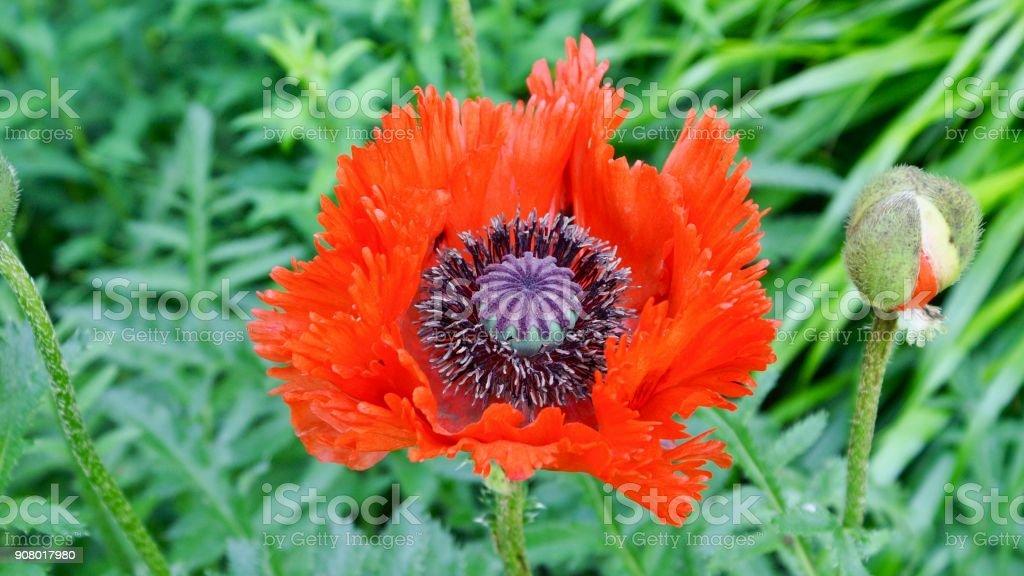 Poppy blossom stock photo