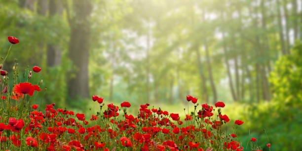 Poppy blossoms in front of a forest - defocused, computer art stock photo