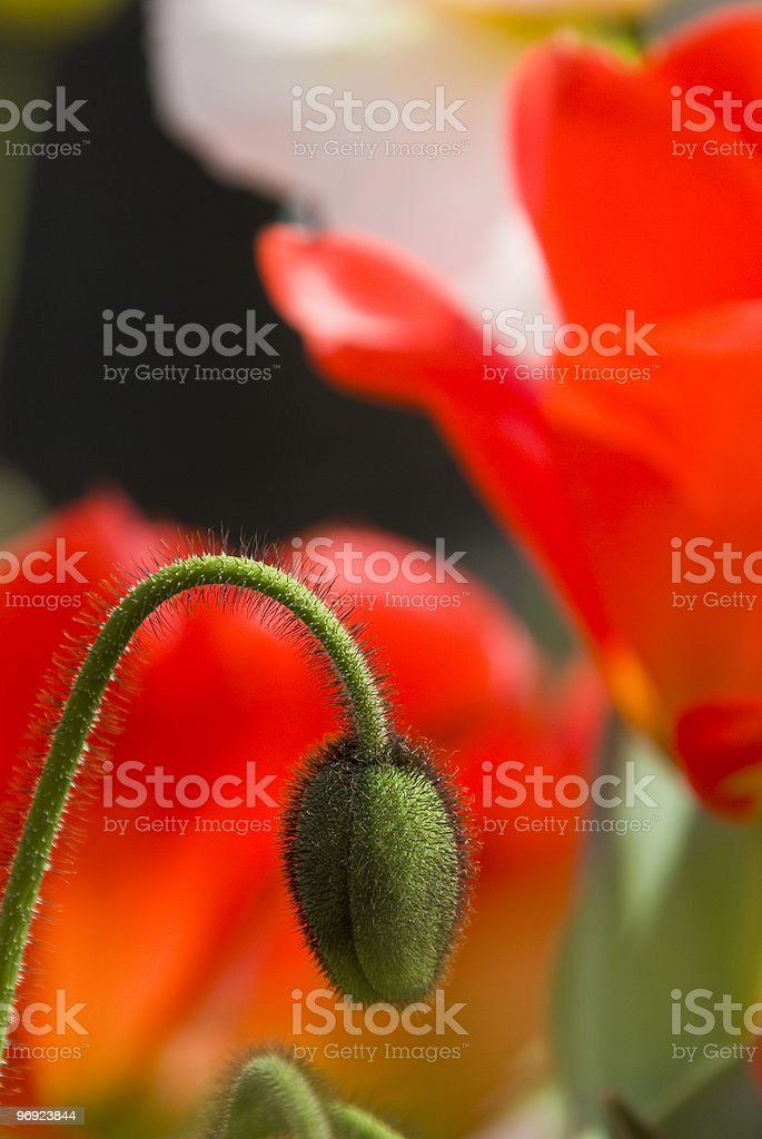 poppy bud in tulip meadow royalty-free stock photo