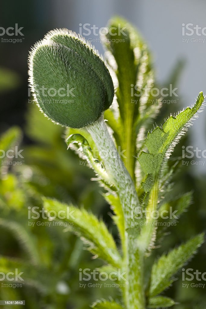 Poppy bud with rimlight (Papaver orientale) royalty-free stock photo