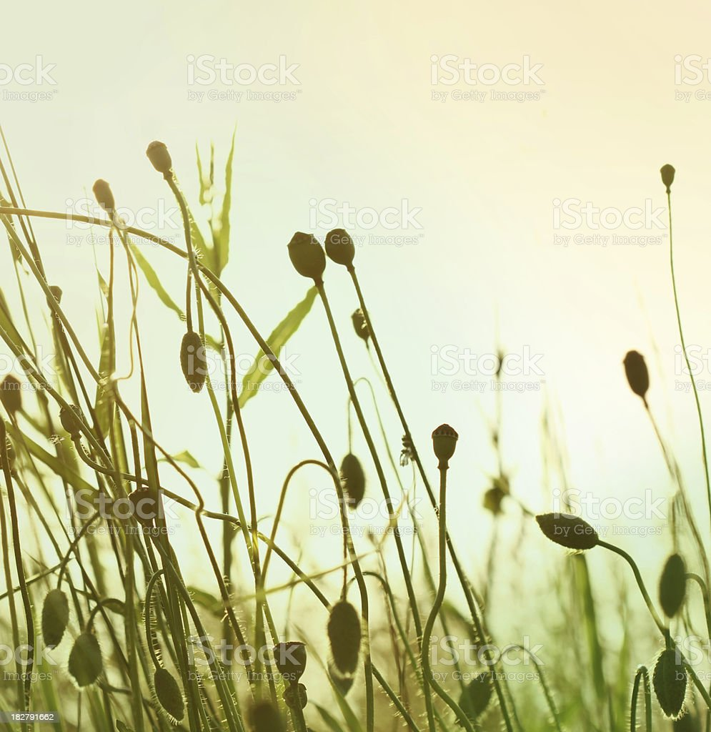 Poppy buds in sunset royalty-free stock photo