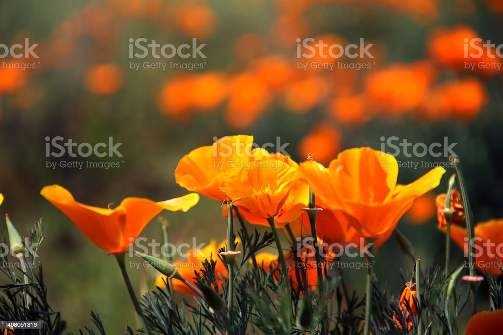 Poppy California Orange Flower stock photo