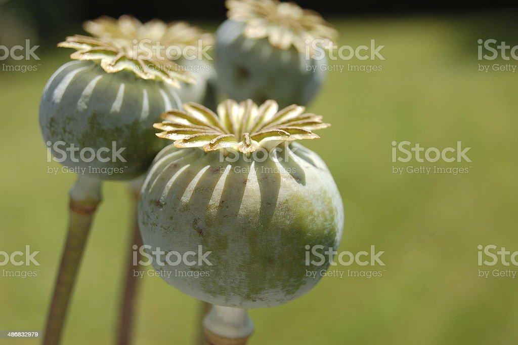Poppy capsules stock photo