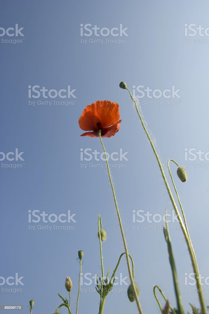 Poppy Closeup Against a Blue Sky, Bottom View royalty free stockfoto