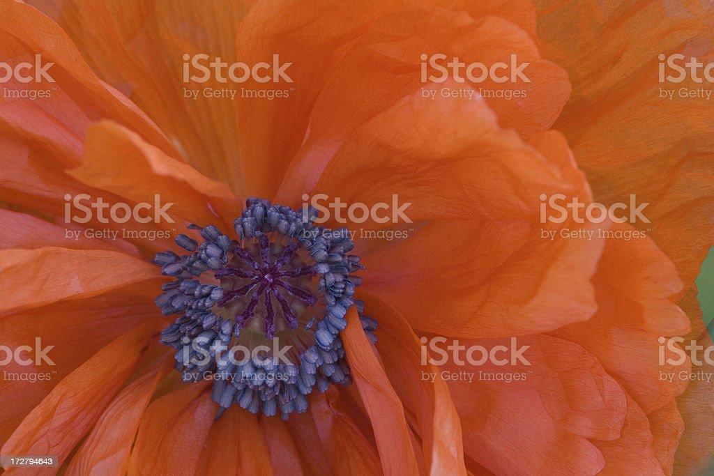 Poppy closeup royalty-free stock photo