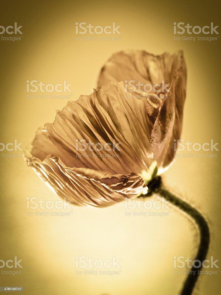 poppy close-up royalty-free stock photo