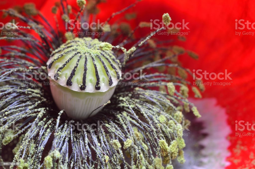 Poppy details royalty-free stock photo