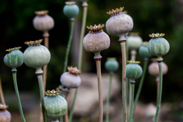 Poppy dry head shell growing in garden stock photo