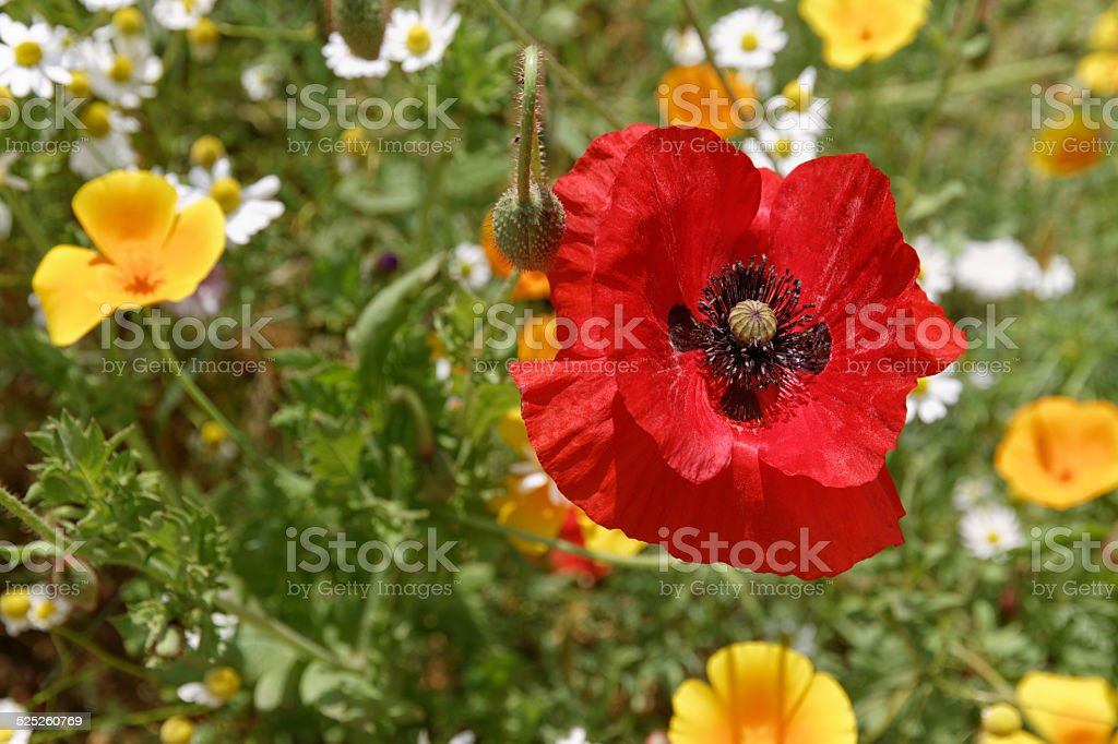 Poppy Dust stock photo
