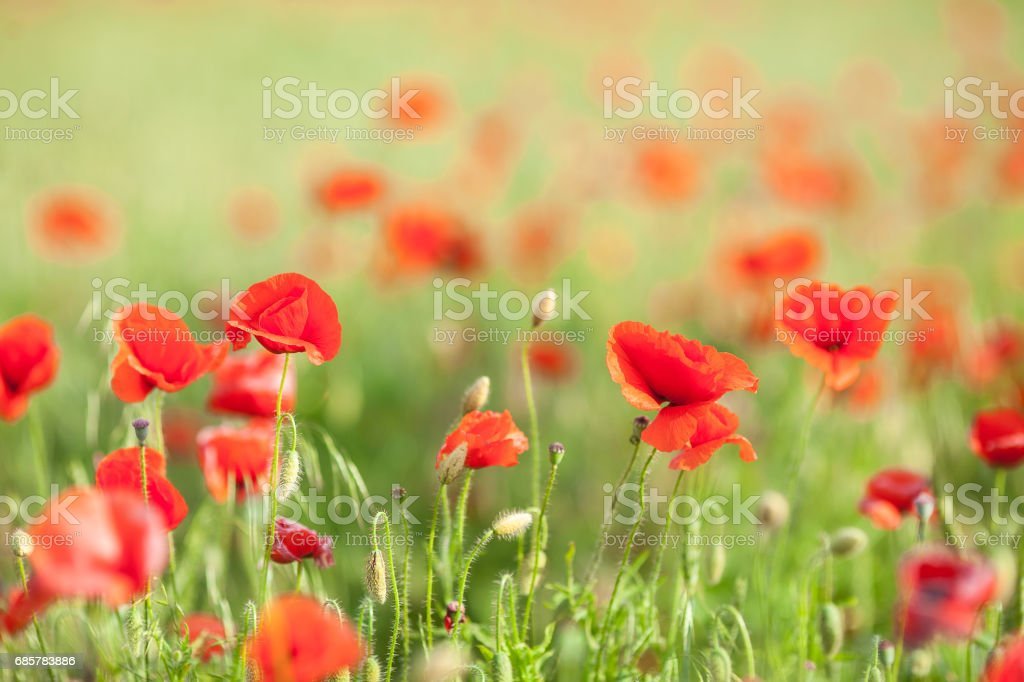 Poppy farming, nature, agriculture concept - close up of red blooming poppy flowers over agriculture field background - empty space for text royalty-free stock photo