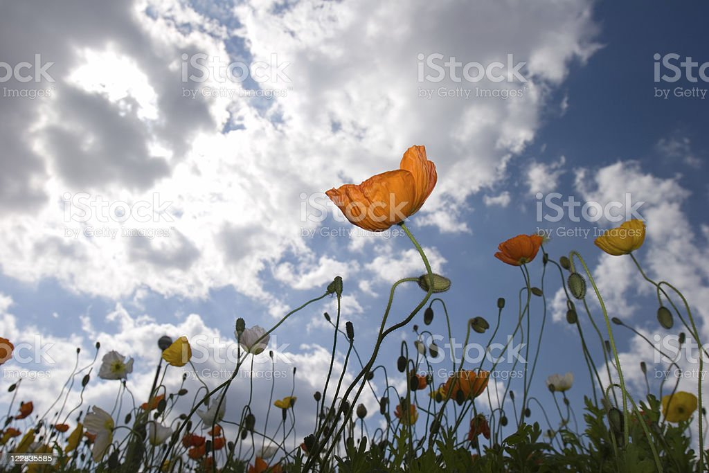 poppy field 1 royalty-free stock photo