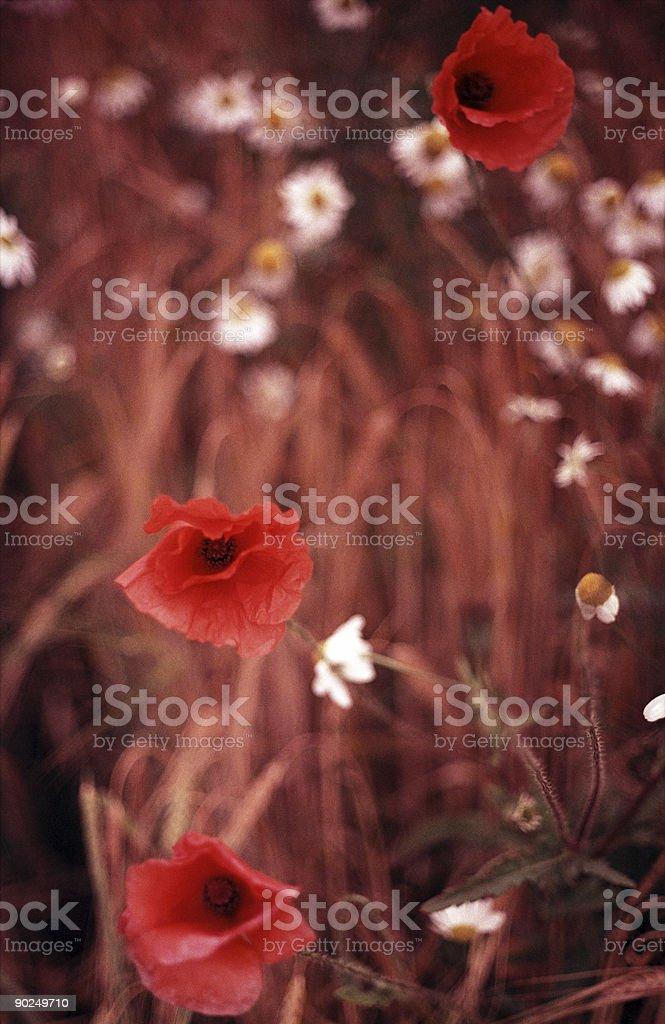 Poppy Field 3 stock photo