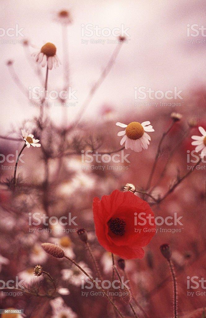 Poppy Field 4 royalty-free stock photo