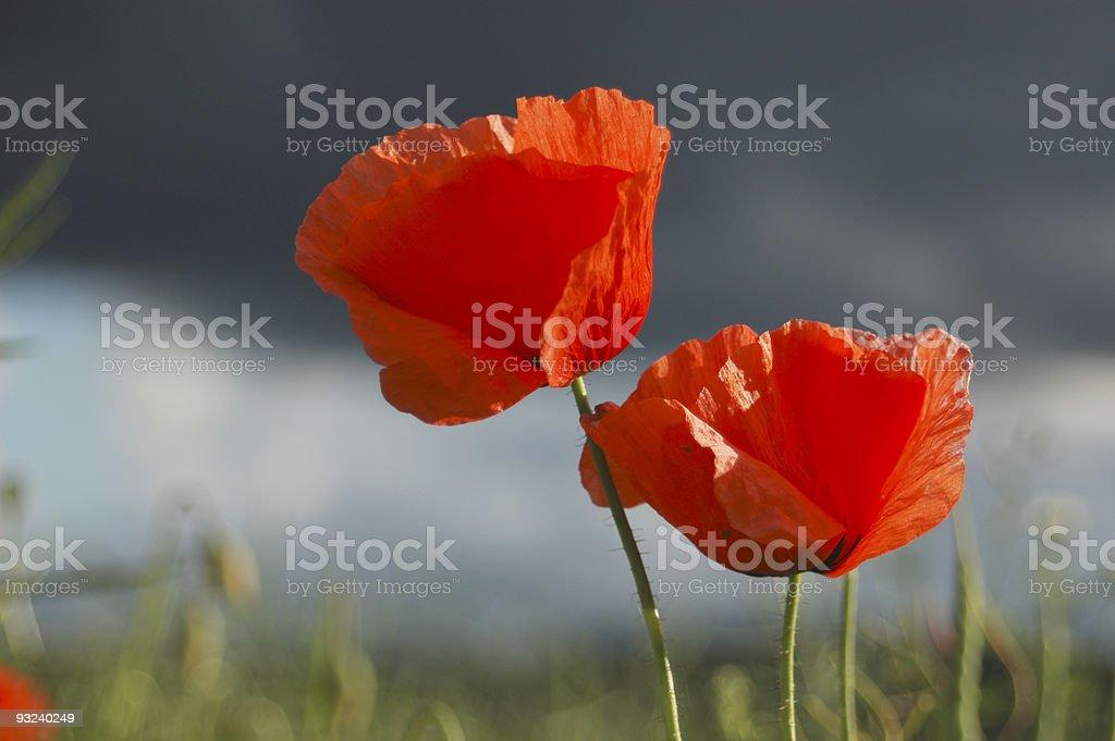 Poppy field against dark sky royalty-free stock photo
