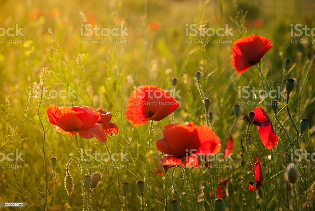 Poppy field against sunlight stock photo