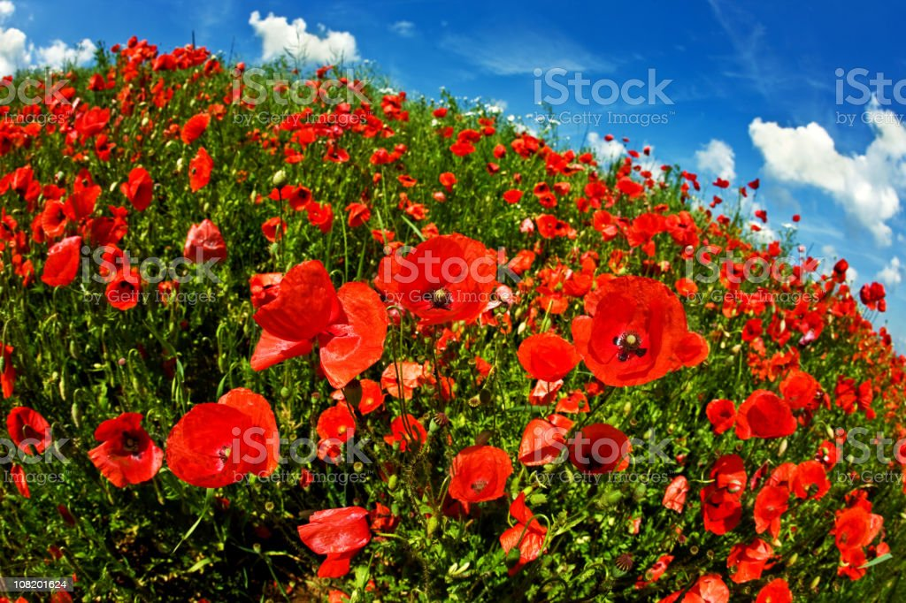 Poppy Field and Blue Sky, Fisheye royalty-free stock photo