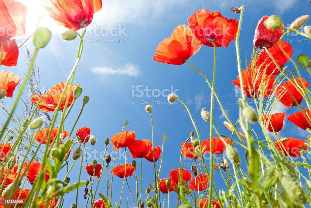 Poppy field and sun royalty-free stock photo