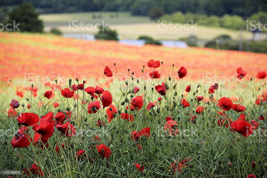 poppy field chiltern hills hertfordshire countryside uk royalty-free stock photo