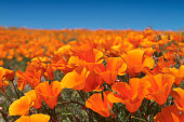 The blue of the sky and billowy clouds provide the perfect backdrop to this superbloom of poppies and popcorn flowers near Lake Elsinore in Southern California;