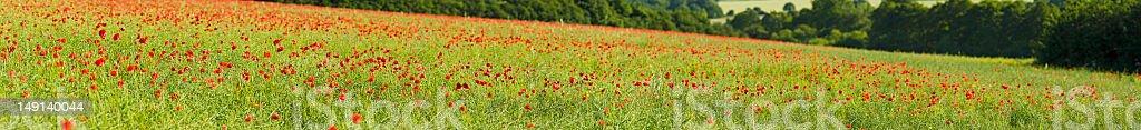 Poppy field green crop background royalty-free stock photo
