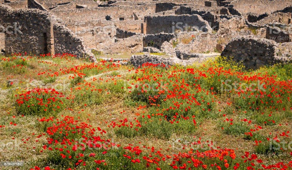 Poppy Field in Pompeii, Italy royalty-free stock photo
