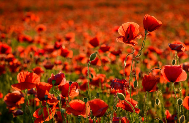 poppy field in summer evening stock photo