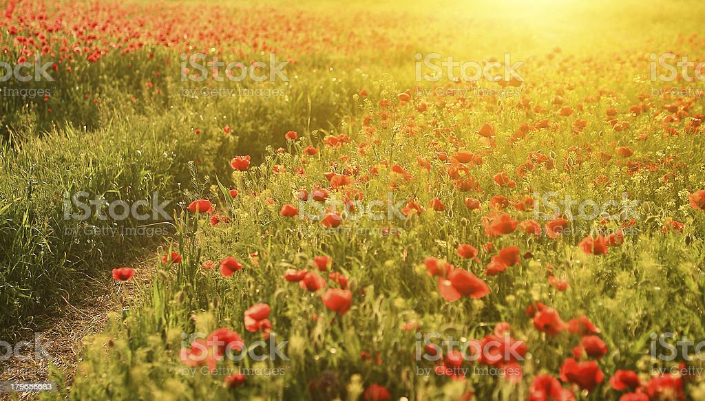 Poppy field in sunset royalty-free stock photo