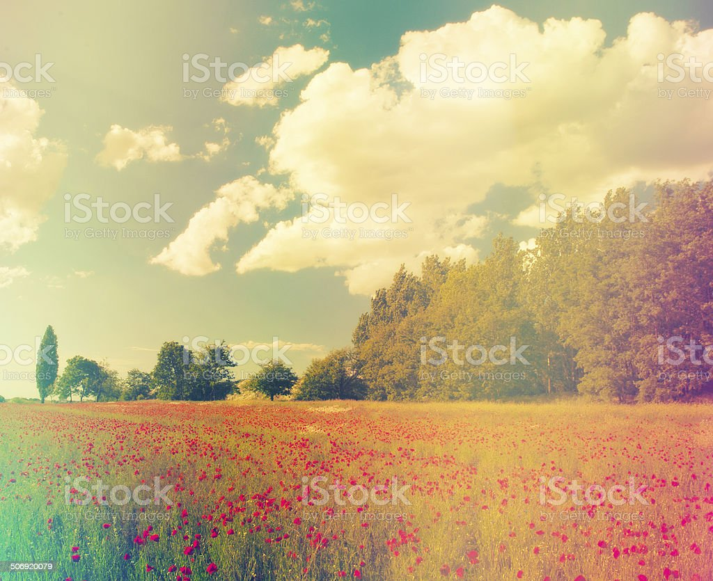 Poppy field in sunset stock photo