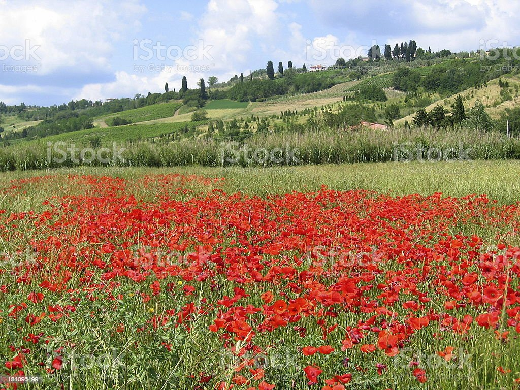 Poppy field in Tuscany royalty-free stock photo
