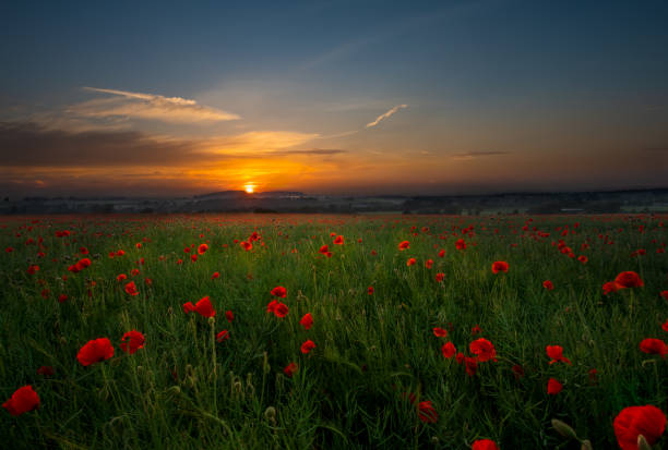 Poppy Field Kingswinford. stock photo