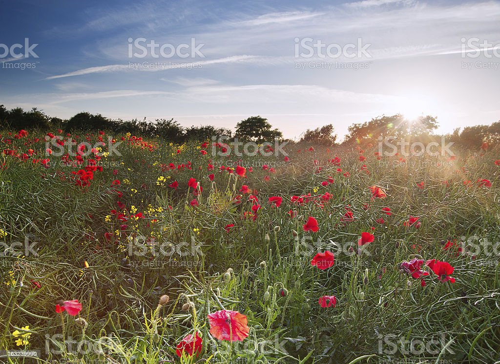 Poppy field landscape English countryside in Summer royalty-free stock photo