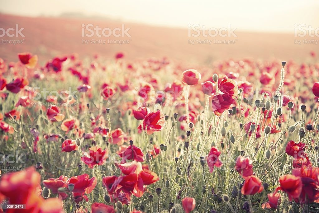 poppy field landscape Summer sunset cross processed retro style stock photo