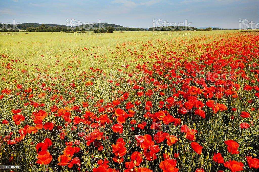 Poppy field panorama royalty-free stock photo